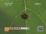 [科技苑]放出瓢虫吃蚜虫(20140609)