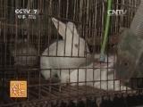 养兔农广天地,新西兰兔养殖技术