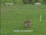 《自然传奇》 20140806 雄狮末路