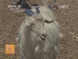 [农广天地]二狼山白绒山羊养殖技术(20140806)
