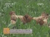 [农广天地]北京油鸡养殖技术(20140824)