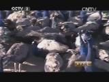 王钰孔雀养殖生财有道,驯兽高手系列 让孔雀飞起来