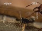 《自然传奇》 20150103 杀手昆虫大战 3