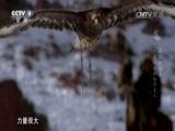 [最后的猎手——蒙古国的哈萨克人]金雕捕狼