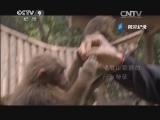 [美丽中国]藏猕猴 片段
