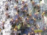 """《生活早参考》 20150925 """"爱拼才会赢""""系列节目 """"蜂""""狂的财富"""