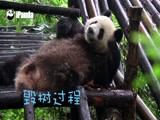 《熊猫来了》思一的毁树之旅