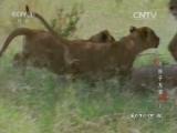 《动物世界》 20160520 与狮子为邻(上)