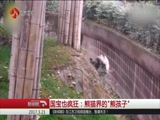 """国宝也疯狂:熊猫界的""""熊孩子"""""""
