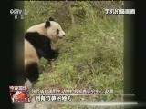 [视频]野生大熊猫现身景区 引来众人围观