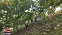 [贵州新闻联播]望谟:十四万亩板栗丰收上市 全产业链助农增收