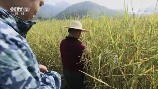 水稻也有两米高的? 是真的吗 2018.11.17 - 中央电视台 00:07:43