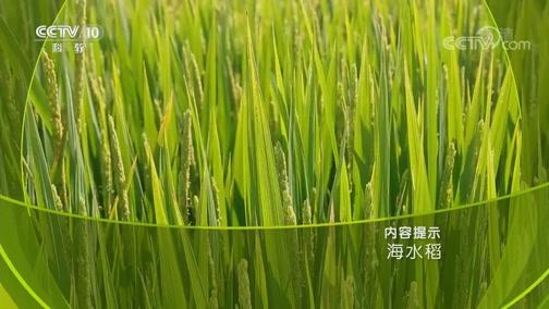 《创新一线》 20181206 海水稻