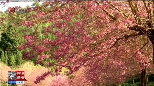 [贵州新闻联播]兴义:3000多株冬樱花竞相盛放
