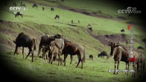 [动物世界]实拍角马分娩过程