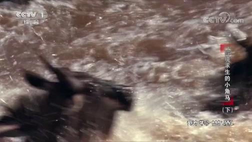 [动物世界]角马辛苦过河 狮子却在一旁虎视眈眈