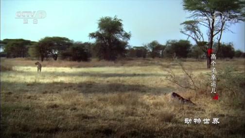 [动物世界]长颈鹿宝宝未能及时站立 成为狮子的大餐