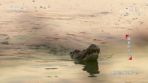 [动物世界]鳄鱼国王求爱 吹泡泡表明善意