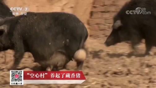 """《科技苑》 20190702 """"空心村""""养起了藏香猪"""
