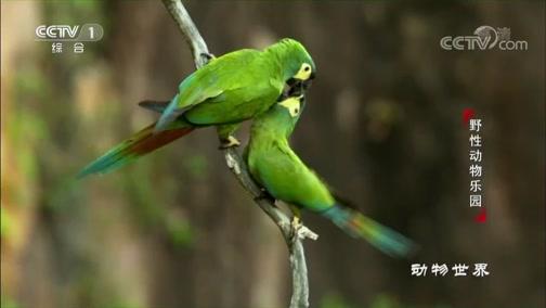 [动物世界]对爱忠贞不渝 鹦鹉成双成对度过一生