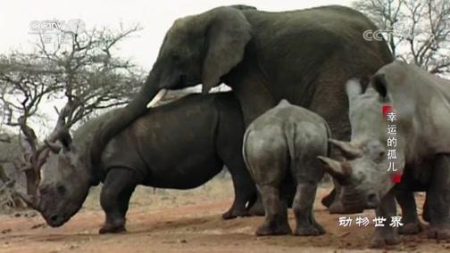 [动物世界]缺乏母象交配 发情期的公象竟向犀牛发泄私欲