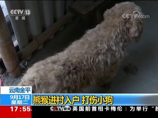 [新闻直播间]云南金平 熊猴进村入户 打伤小狗