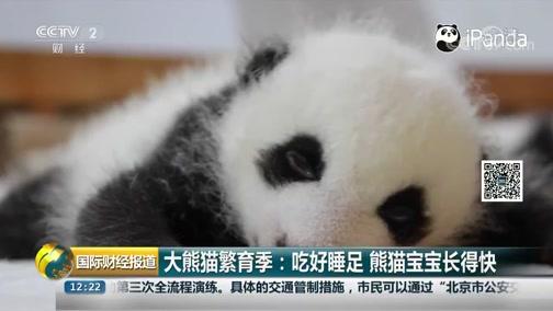 [国际财经报道]大熊猫繁育季:吃好睡足 熊猫宝宝长得快