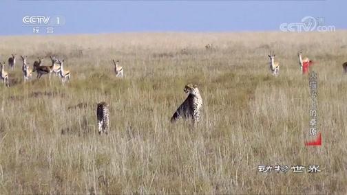 《动物世界》 20190928 大猫心上的草原