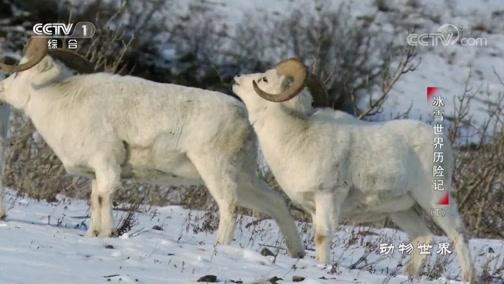 """[动物世界]""""撞头大赛""""之后 雄盘羊品尝起爱情果实"""