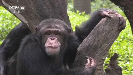 [动物好伙伴]大猩猩和香蕉的故事