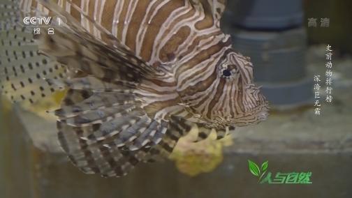 [人与自然]邓氏鱼像刀片一样的大嘴 咬合力到底有多强?