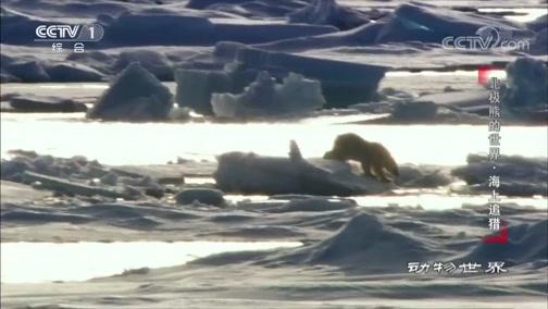 《动物世界》 20191126 北极熊的世界·海上追猎