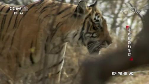 《动物世界》 20200217 老虎的旅行生活