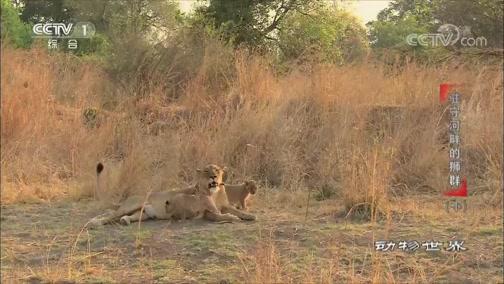 《动物世界》 20200410 驻守河畔的狮群(下)