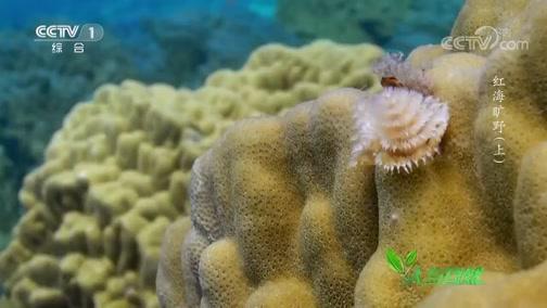 《人与自然》 20200607 红海旷野(上)