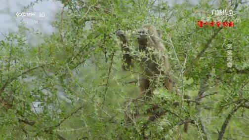 《自然传奇》 20200702 狒狒传奇