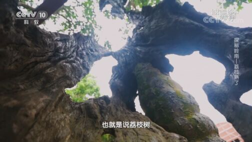 《跟着书本去旅行》 20200817 探秘岭南——荔枝熟了