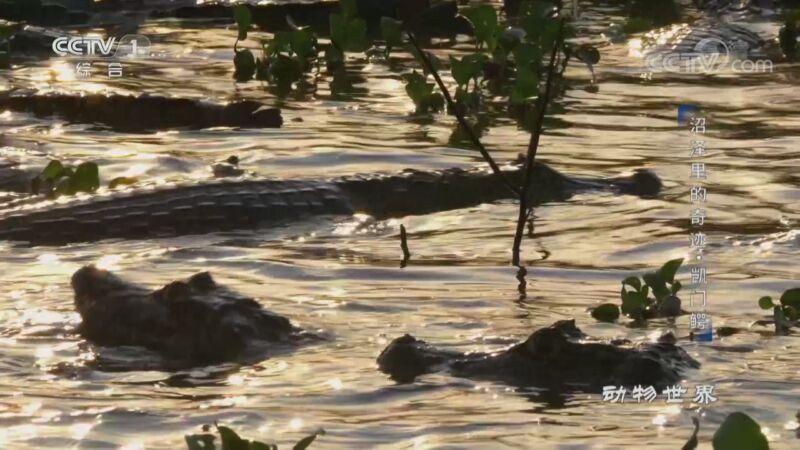 《动物世界》 20200918 沼泽里的奇迹·凯门鳄