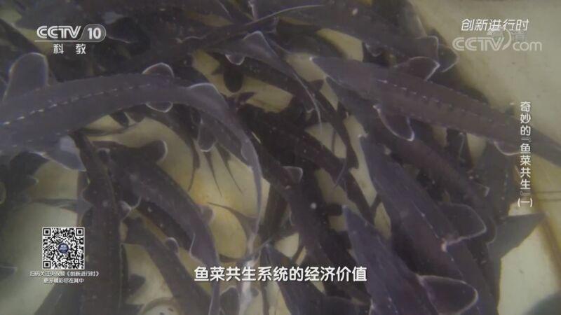 """《创新进行时》 20201009 奇妙的""""鱼菜共生""""(一)"""