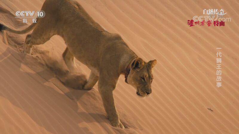 《自然传奇》 20201105 一代狮王的故事