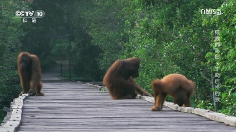 《自然传奇》 20210104 猿猴的秘密·千奇百怪的猴