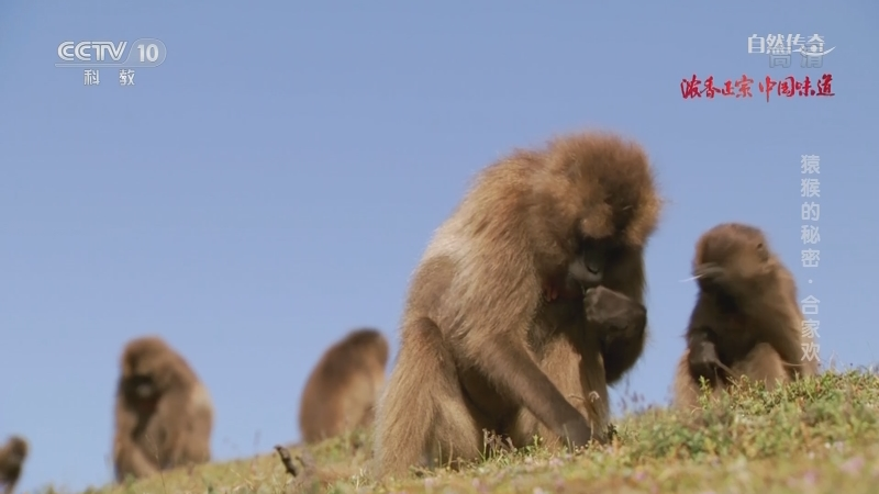 《自然传奇》 20210111 猿猴的秘密·合家欢