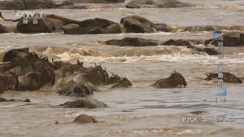《动物世界》 20210127 马拉河畔·勇敢的心(上)