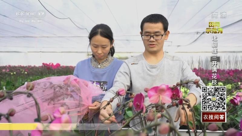 《田间示范秀》 20210205 让蝴蝶兰开满花枝