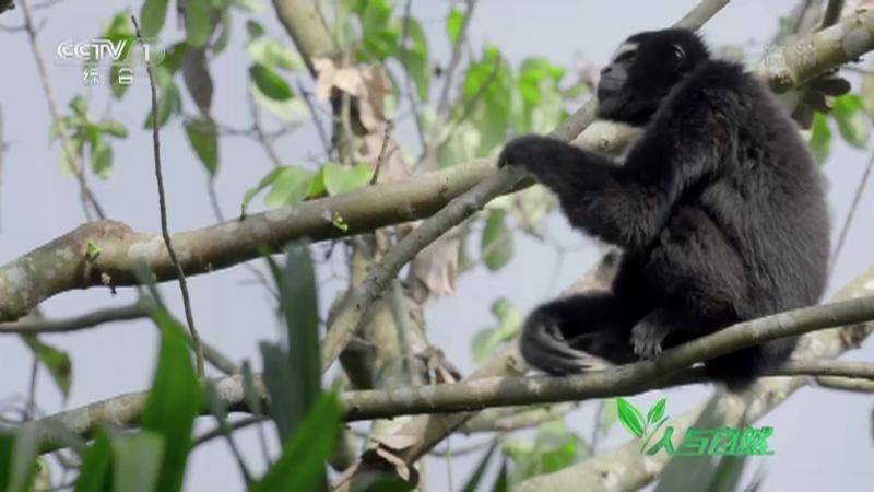 《人与自然》 20210301 长臂猿萨玛成长记(上)