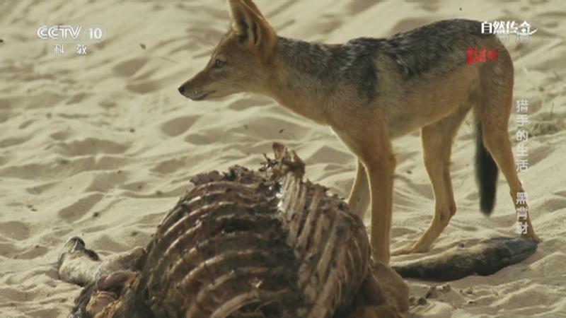 《自然传奇》 20210405 猎手的生活·黑背豺