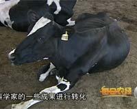 讲究吃喝的奶牛