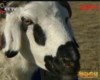 越养越精的乌珠穆沁羊