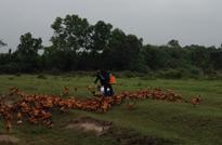 图为海南文昌,拍摄文昌鸡牧养时,田园牧鸡的壮观场景