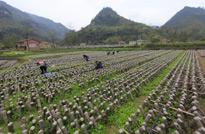 重庆南川的食用菌种植基地,基地面积大,种出的食用菌品质优良又安全。